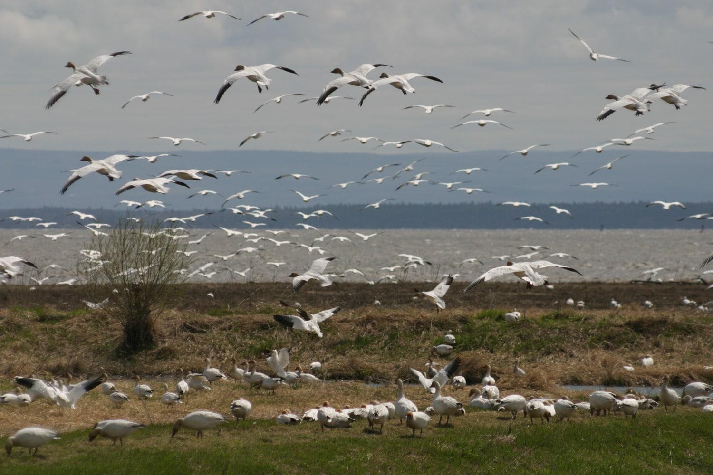 <strong>C'est le retour des oiseaux migrateurs !</strong> <br>Créditphoto: Éric Turcotte