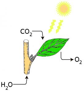 La photosynthèse. Wiki Commons. Crédit: Stepa.