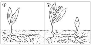 Schéma d'uneplante se reproduisant par rhizomes