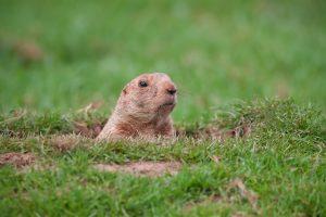 Une marmotte communequi sort latête deson terrier.